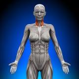 Hals - kvinnlig anatomi vektor illustrationer