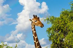 Hals und Kopf einer Giraffe nahe einem grünen Baum in Samburu-Park lizenzfreie stockfotografie