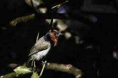 Halsband-Bartvogel lybius torquatus gehockt auf einer Niederlassung lizenzfreies stockbild