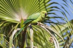 Halsbandparkiet, Rose-ringed Parakeet, Psittacula krameri royalty free stock images