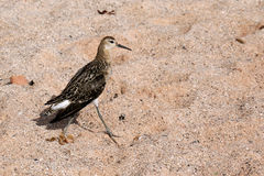 Halskrage-/Philomachuspugnax på stranden Arkivfoton