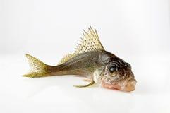 Halskragen är den försåg med en hulling fisken Arkivfoto