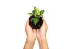 Halten der Grünpflanze in der Hand Stockfoto