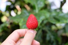 Halten einer Erdbeere Stockfotos