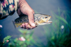 Halten eines Forelle gefangenen Fischens Stockbild