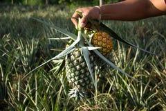 Halten Sie die Ananas gekocht am Garten stockfotografie