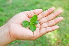 Halten von kleinen Grünblättern. Stockfoto