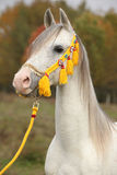 Όμορφος άσπρος αραβικός επιβήτορας με το συμπαθητικό halter Στοκ Φωτογραφία