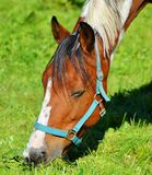 Halter, Horse, Bridle, Horse Tack Stock Image