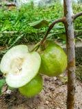 Halv guavafrukt med det gröna bladet som isoleras på vit bakgrund arkivfoton