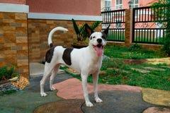 Halv japansk spitzhund för lycklig halv boxare arkivbilder