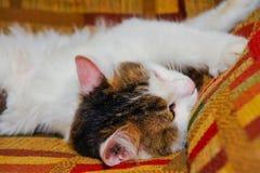 Halv vithusdjurkatt som poserar på soffan bakgrund av fyrkanter av diff Arkivbilder