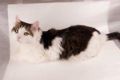 Halv vithusdjurkatt som poserar på vit arkivfoton