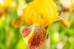 Halva-öppnad gul svärdsliljablommanärbild fotografering för bildbyråer