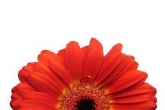 Halva av den röda gerberaen royaltyfri foto