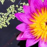 Halva av lotusblomma i trädgård Arkivbilder