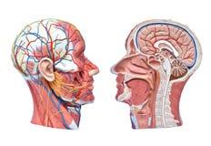 Halva-huvud människamodeller Arkivfoton
