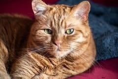 Halva-perser orange katt med gröna ögon som sitter på en soffa som ser kameran royaltyfri fotografi