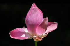 Halve Bloei Roze Lotus Stock Afbeelding
