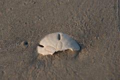 Halve het Zanddollar van het aalmoezeniereiland stock afbeeldingen