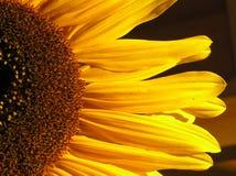 Halve zonnebloem Royalty-vrije Stock Afbeelding
