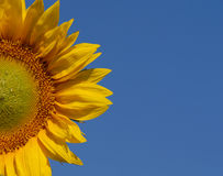 Halve zonnebloem Stock Afbeelding