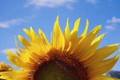 Halve zonnebloem Stock Fotografie