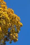 Halvt gult blekna träd Royaltyfri Bild