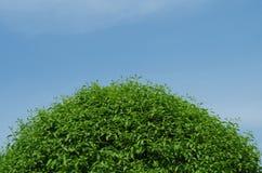 Halvt kottegräsplanträd i blå himmel Arkivbilder