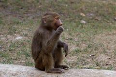 Hamadryad del babuino del bebé que se sienta Imagen de archivo libre de regalías