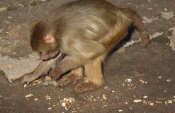 Hamadryas狒狒搜寻 库存图片