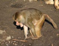 Hamadryas狒狒搜寻 库存照片