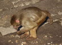 Hamadryas狒狒搜寻 免版税库存照片