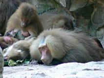 Hamadryas狒狒睡觉 库存照片