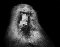 Hamadryas狒狒猴子黑色白色画象 免版税库存图片