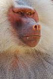 Hamadryas狒狒 免版税库存照片