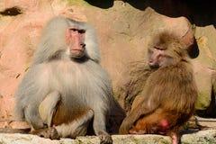 Hamadryas狒狒 库存图片