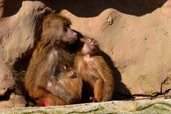 Hamadryas狒狒 免版税库存图片