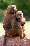 Hamadryas Baboon Royalty Free Stock Photo