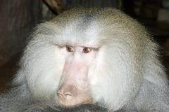 Hamadryas baboon Stock Image