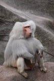 Hamadryas Baboon. The Hamadryas Baboon (Papio hamadryas) is a baboon from the Old World monkey family stock images