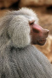 Hamadryas baboon Royalty Free Stock Photo