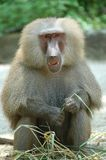 Hamadryas Baboon. A smiling baboon portrait from the zoo royalty free stock image