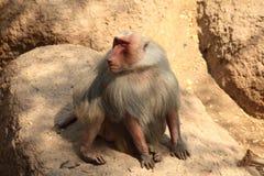 Hamadryas Baboon Stock Images