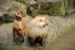 Hamadryas baboon. In in Singapore Zoo Royalty Free Stock Images