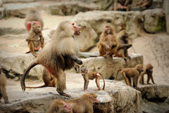 Hamadryas baboon. In in Singapore Zoo Royalty Free Stock Photography