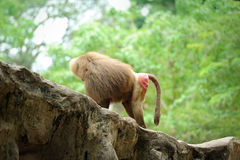 Hamadryas baboon. In in Singapore Zoo Royalty Free Stock Photo