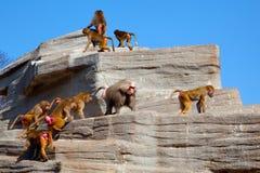 Hamadryas baboon. Flock ( harem ) of Hamadryas baboon on the rock stock photography