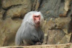 Hamadryas baboon Royalty Free Stock Image