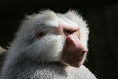 Hamadryas baboon Royalty Free Stock Images